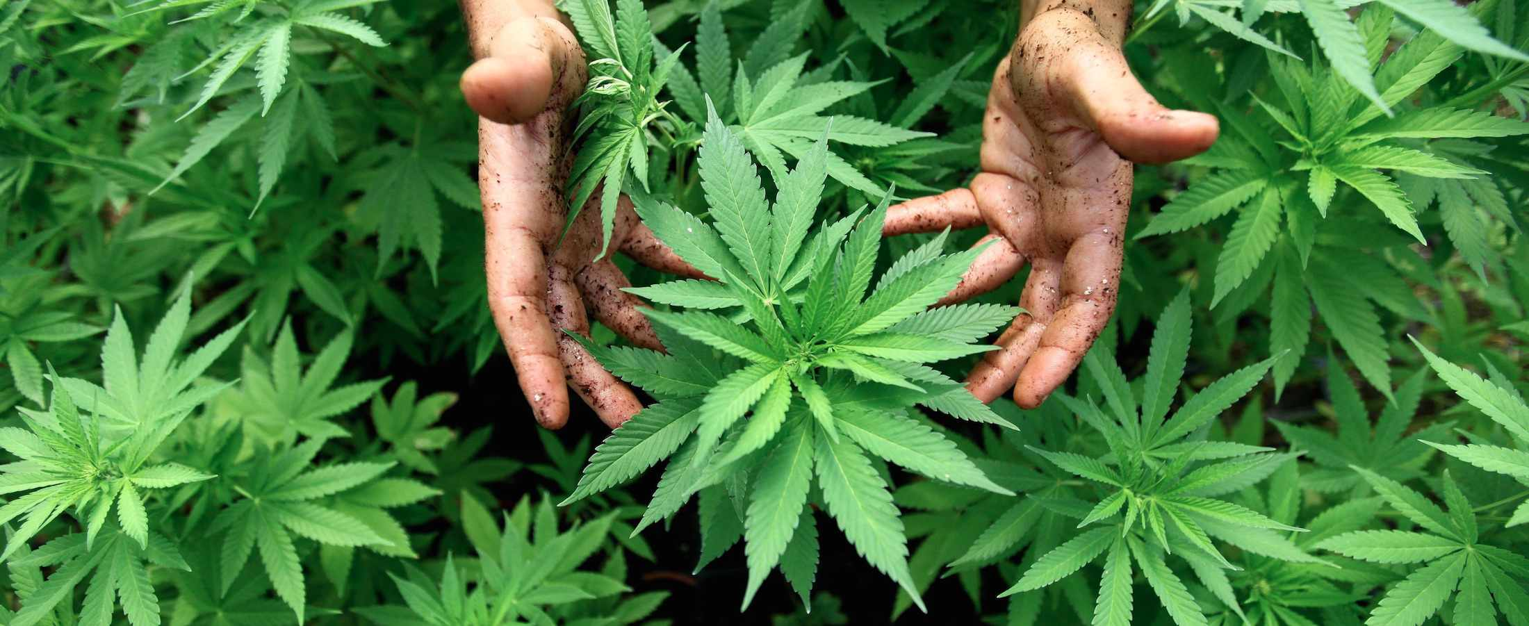 Cannabis oil for cancer and much much more